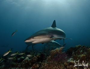 This Reef Shark scans the reef for something that interes... by Steven Anderson